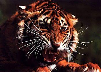 Правдивая история русского тигра